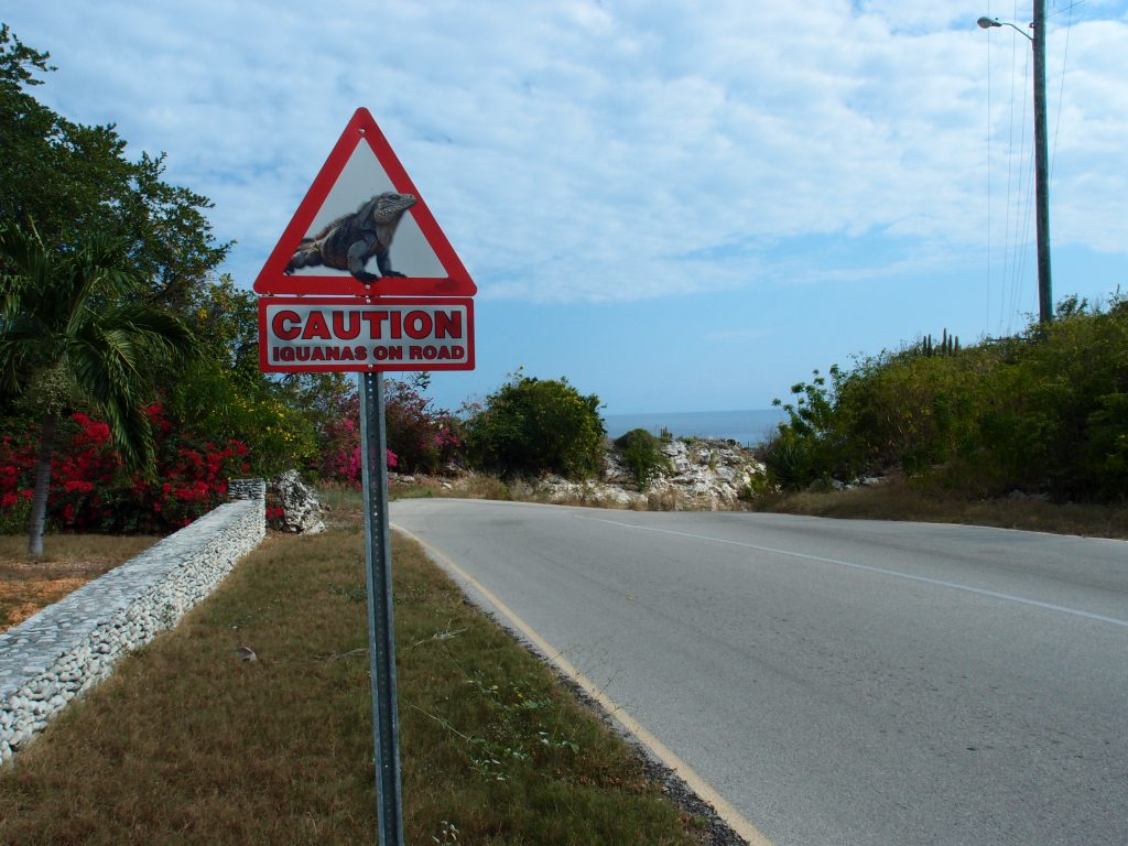 Iguanas on road